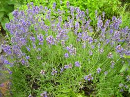 Lavendelöl, Bulgarien, ab 5 ml